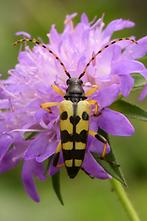 Rutpela maculata - Gefleckter Schmalbock, Käfer auf Blume