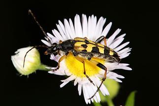 Rutpela maculata - Gefleckter Schmalbock, Käfer auf Gänseblümchen