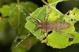 Saperda carcharias - Großer Pappelbock, Käfer auf Blatt (1)