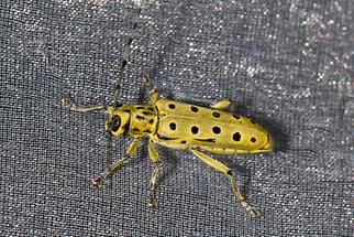 Saperda perforata - Gefleckter Pappelbock, Käfer im Lichtfang