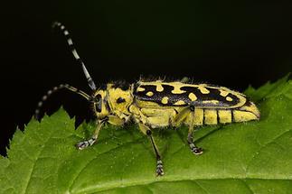 Saperda scalaris - Leiterbock, Käfer auf Blatt (2)