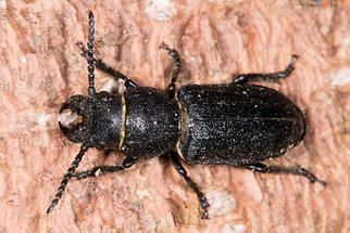 Spondylis buprestoides - Waldbock, Käfer auf Rinde (1)