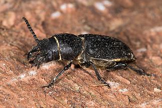 Spondylis buprestoides - Waldbock, Käfer auf Rinde (2)