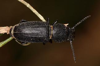 Spondylis buprestoides - Waldbock, Käfer auf Stiel