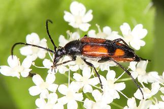Stenurella bifasciata - Zweibindiger Schmalbock, Käfer auf Blüten (2)