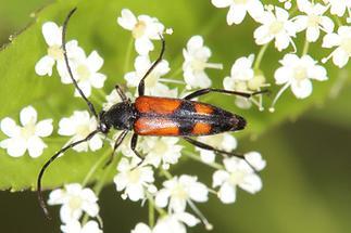 Stenurella bifasciata - Zweibindiger Schmalbock, Weibchen