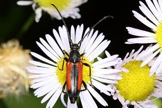 Stenurella melanura - Kleiner Schmalbock, Käfer auf Gänseblümchen