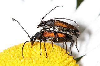Stenurella melanura - Kleiner Schmalbock, Paar