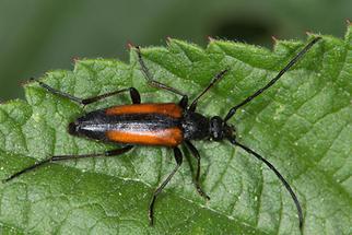 Stenurella melanura - Kleiner Schmalbock, Weibchen (1)