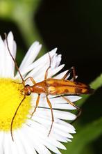 Stenurella septempunctata - Siebenpunktiger Halsbock, Käfer auf Gänseblümchen