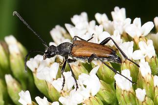 Stictoleptura maculicornis - Fleckenhörniger Halsbock, Käfer auf Blüten