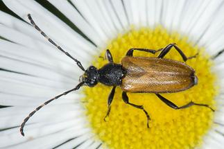 Stictoleptura maculicornis - Fleckenhörniger Halsbock, Käfer auf Gänseblümchen