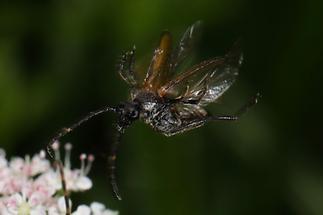 Stictoleptura maculicornis - Fleckenhörniger Halsbock, Käfer im Abflug