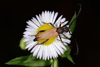Stictoleptura rubra - Rothalsbock, Käfer auf Gänseblümchen