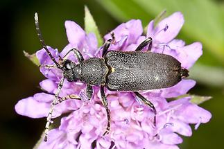 Stictoleptura scutellata - Haarschildiger Halsbock, Käfer auf Blüte (1)