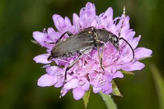 Stictoleptura scutellata - Haarschildiger Halsbock, Käfer auf Blüte (2)