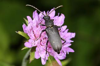 Stcitoleptura scutellata - Haarschildiger Halsbock, Käfer auf Blüte (3)