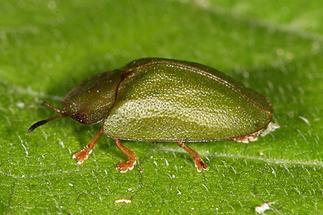 Cassida sp, - kein dt. Name bekannt, Käfer auf Blatt