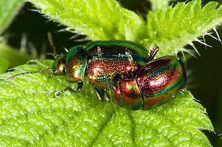 Chrysolina fastuosa - Prächtiger Blattkäfer, Käfer Paar (1)