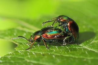 Chrysolina fastuosa - Prächtiger Blattkäfer, Käfer Paar (2)