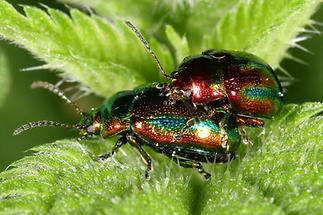 Chrysolina fastuosa - Prächtiger Blattkäfer, Käfer Paar (3)