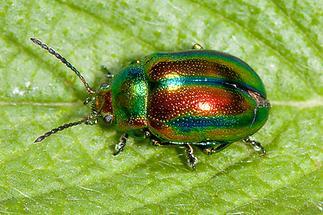 Chrysolina fastuosa - Prächtiger Blattkäfer, Käfer auf Blatt