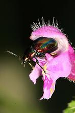 Chrysolina fastuosa - Prächtiger Blattkäfer, Käfer in Taubnessel