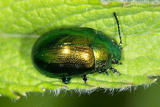 Chrysolina herbacea - Minze-Blattkäfer, Käfer auf Blatt (1)