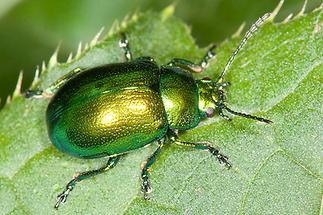 Chrysolina herbacea - Minze-Blattkäfer, Käfer auf Blatt (2)