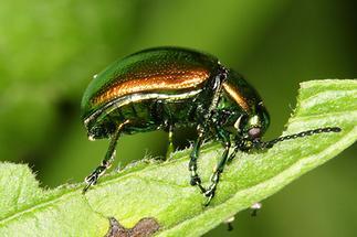 Chrysolina herbacea - Minze-Blattkäfer, Käfer auf Blatt (3)