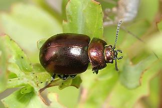 Chrysolina staphylaea cf. - Rotbrauner Blattkäfer