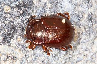 Chrysolina staphylaea - Rotbrauner Blattkäfer, Käfer auf Fahrweg