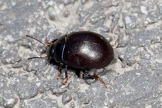 Chrysolina sturmi - Violetter Blattkäfer, Käfer auf Straße (2)