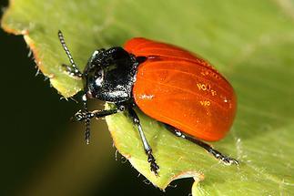 Chrysomela populi cf. - Pappelblattkäfer, Käfer auf Blatt