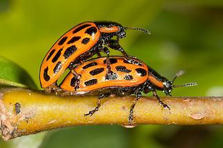 Chrysomela vigintipunctata - Gefleckter Weidenblattkäfer, Käfer Paar (1)