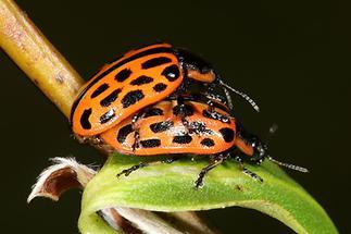 Chrysomela vigintipunctata - Gefleckter Weidenblattkäfer, Käfer Paar (2)