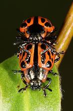 Chrysomela vigintipunctata - Gefleckter Weidenblattkäfer, Käfer Paar (3)