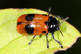 Clytra laeviuscula - Ameisensackträger, Käfer auf Blatt (1)