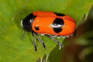 Clytra laeviuscula - Ameisen-Sackträger, Käfer auf Blatt (2)
