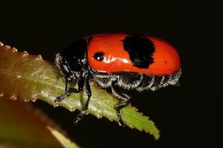 Clytra laeviuscula - Ameisen-Sackträger, Käfer auf Blatt (3)