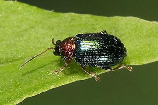 Crepidodera aurata - Weiden-Erdfloh, Käfer auf Blatt