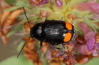 Cryptocephalus biguttatus - Zweifleckiger Fallkäfer, Käfer auf Blüte (1)