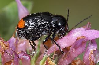 Cryptocephalus biguttatus - Zweifleckiger Fallkäfer, Käfer auf Blüte (2)
