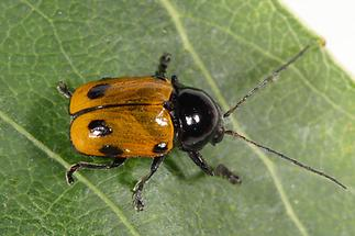 Cryptocephalus imperialis - Kaiserlicher Fallkäfer, Käfer auf Blatt (1)
