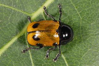 Cryptocephalus imperialis - Kaiserlicher Fallkäfer, Käfer auf Blatt (2)