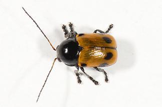 Cryptocephalus imperialis - Kaiserlicher Fallkäfer, Käfer auf Mauer