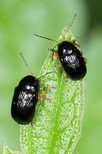 Cryptocephalus ocellatus - kein dt. Name bekannt, 2 Käfer auf Blatt