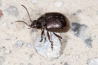 Chrysolina purpurascens crassimargo ssp. - kein dt. Name bekannt, Käfer auf Fahrweg (1)