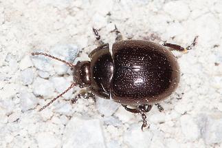 Chrysolina purpurascens crassimargo ssp. - kein dt. Name bekannt, Käfer auf Fahrweg (2)