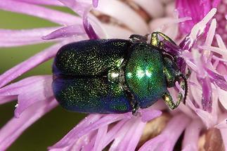Cryptocephalus sericeus - Seidiger Fallkäfer, Käfer auf Blüte (1)